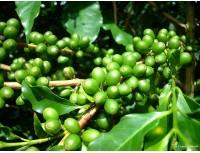 Green Coffee Bean P.E.