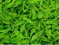 Green tea P.E.