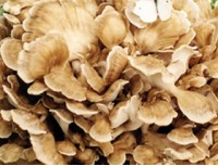 Maitake Mushroom P.E.
