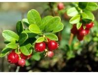 Lingonberry leaf P.E.