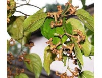 Hovenia Dulcis Extract