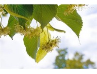 Tilia Flower Extract