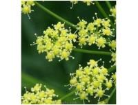 Resina Ferulae Extract