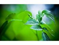 Menthae Piperitae Folia Extract