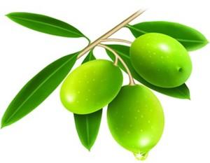 油橄榄树图片